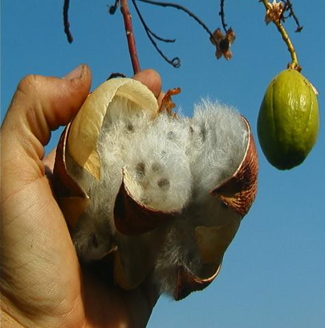 Kapok Tree Seed Pods on Western Australian Landscapes